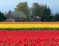 thousands of colorful tulips