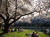 Cherry blossoms at UW
