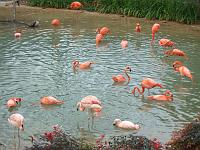Flamingos at Dallas Zoo