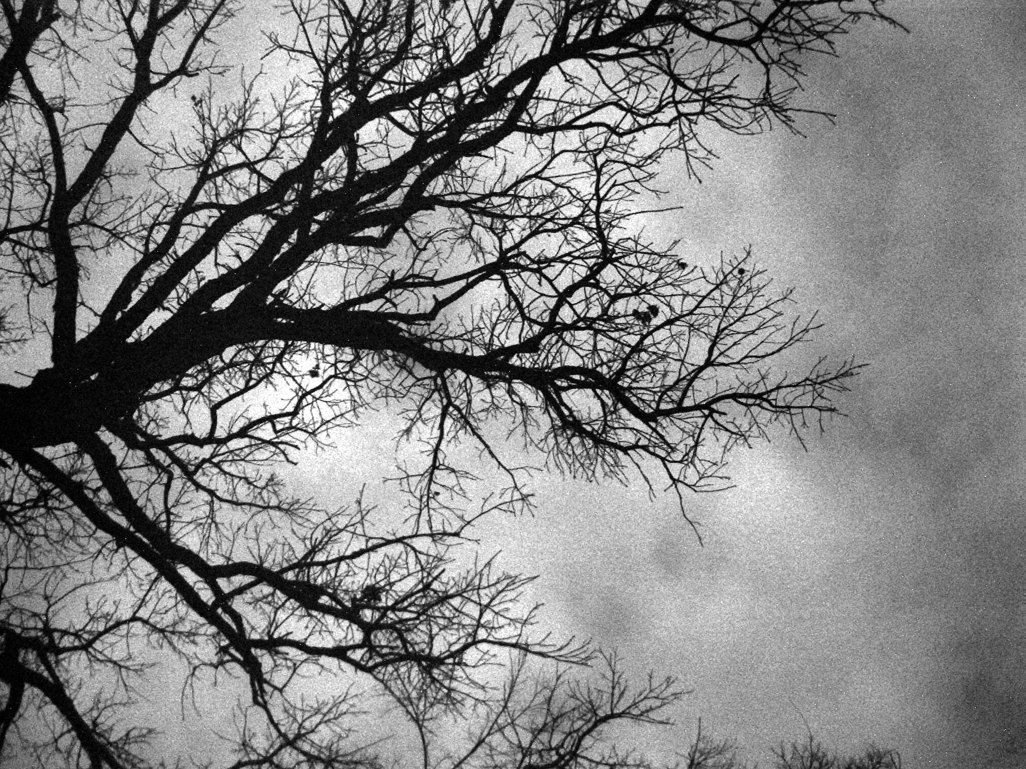 Black and white tree in winter
